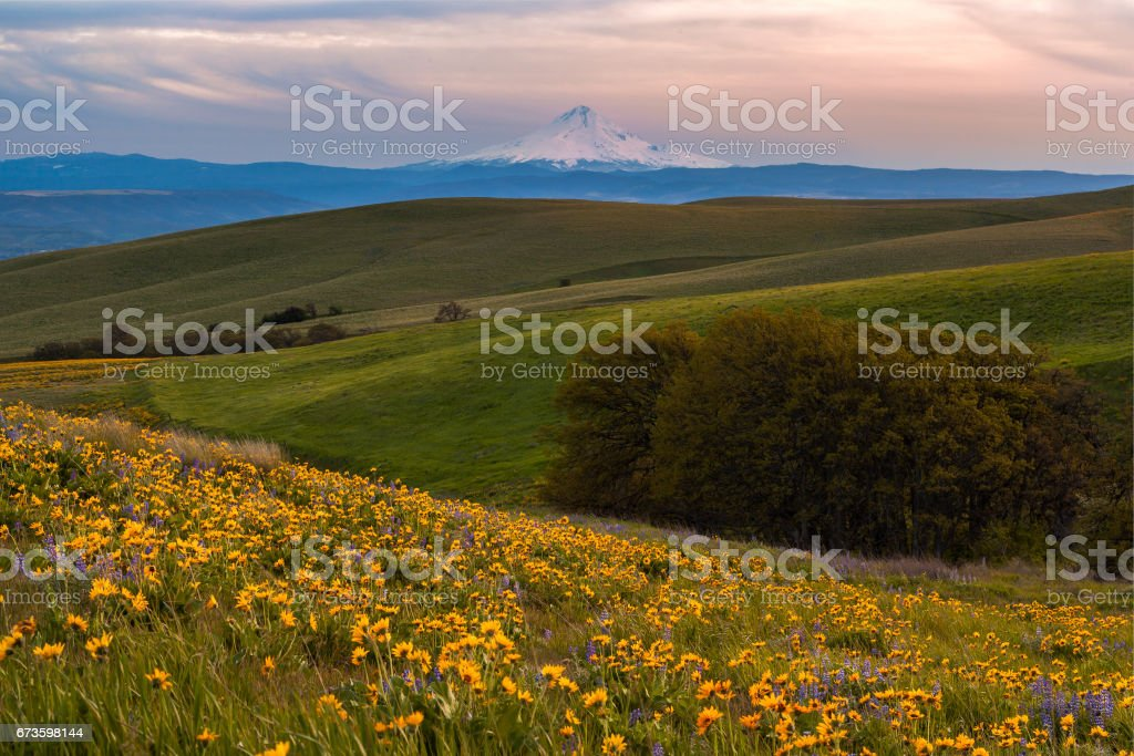 Mount Hood catching sunset light and wild flowers filed in Columbia hills state park, Washington stock photo