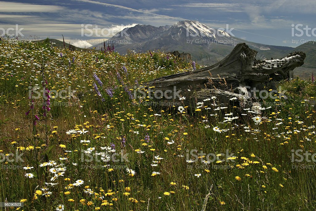 Mount Saint Helens With Wildflowers and Fallen Log In Foreground stock photo