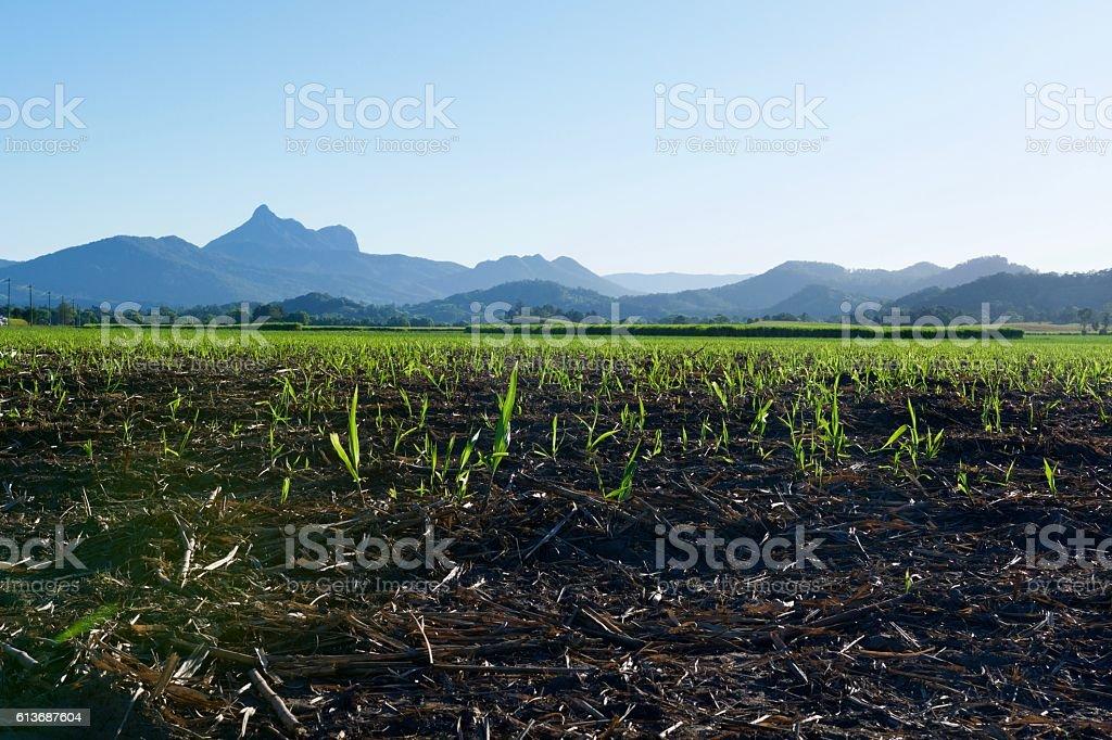 Mount Warning and sugar cane stock photo