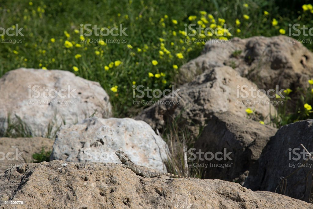 Mountain agama (Laudakia stellio) basking on rock on the nature stock photo