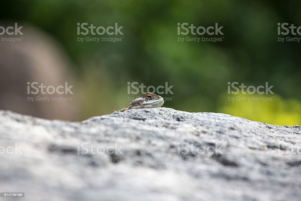 Mountain agama (Laudakia stellio) basking stock photo