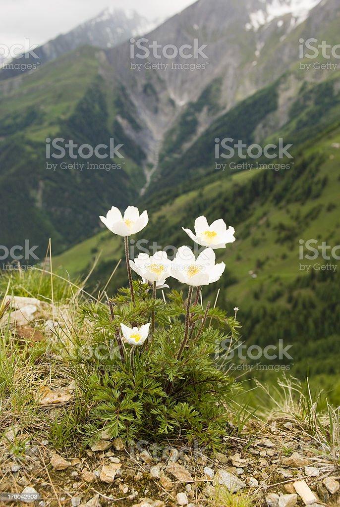 Mountain Anemone royalty-free stock photo