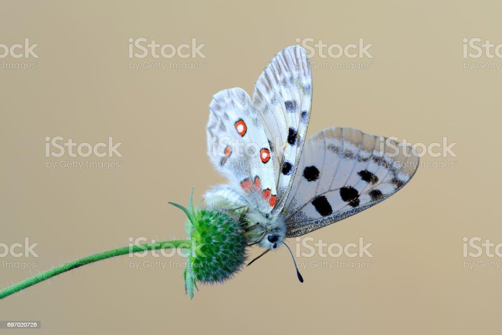 Mountain Apollo (Parnassius apollo) butterfly stock photo