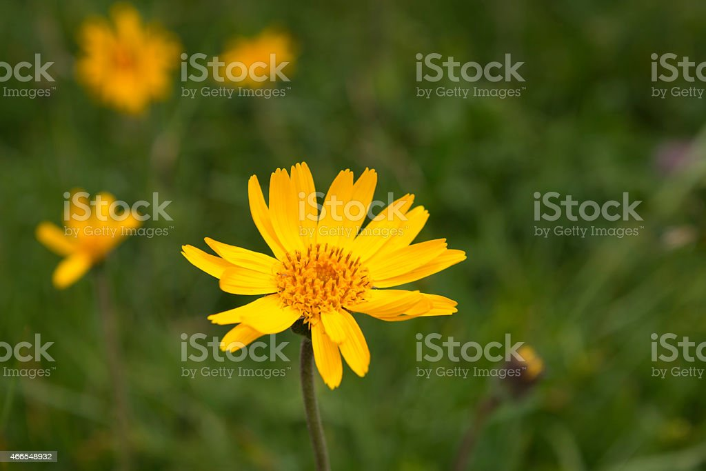 mountain arnica [Arnica montana] stock photo