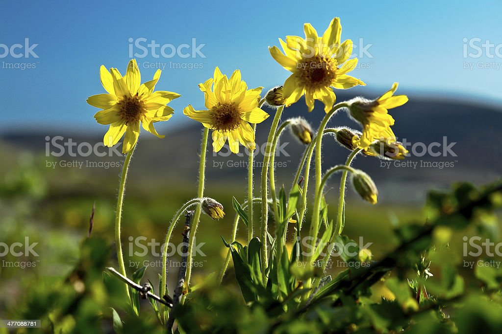 Mountain arnica blossoms. stock photo