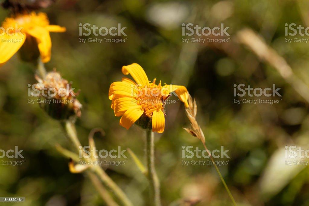 Mountain arnica (Arnica montana) stock photo