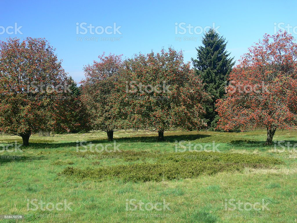Eberesche 2 stock photo