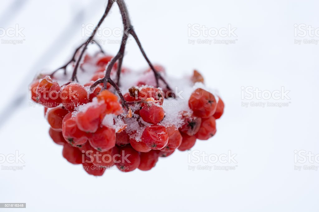 Mountain Ash berries in with with light snow on them stock photo