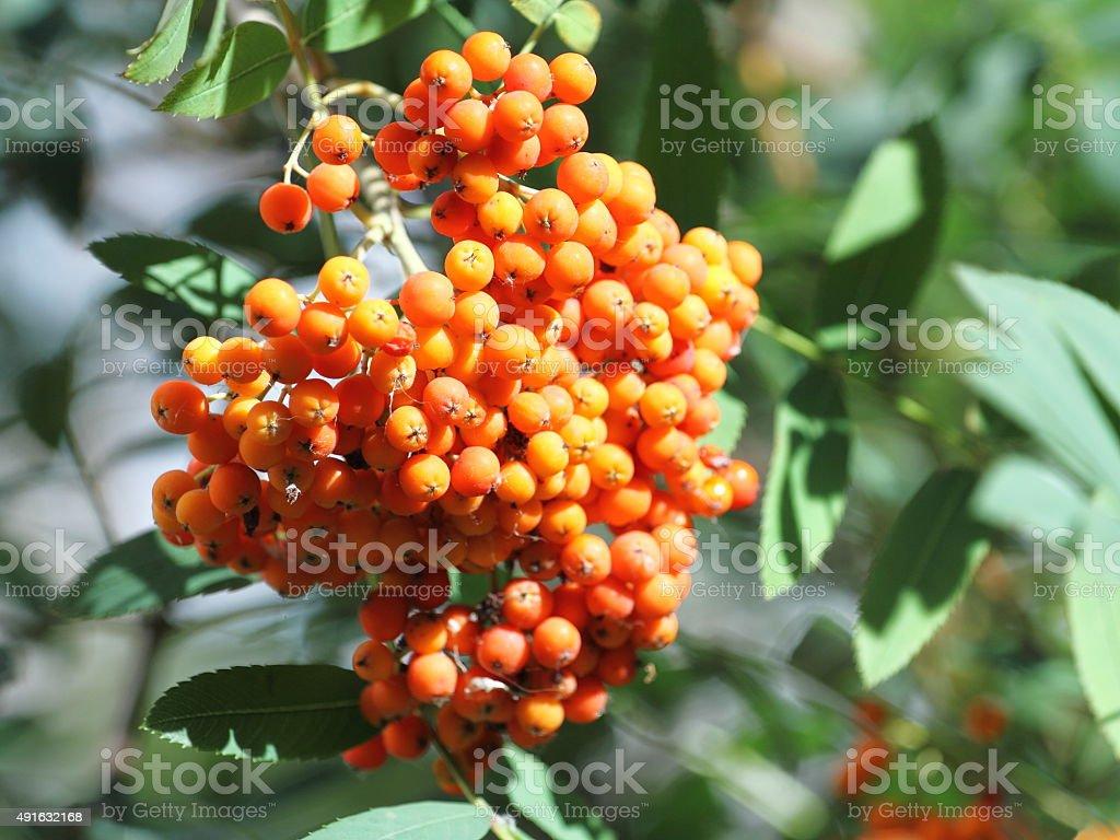 Mountain ash fruits rouges. photo libre de droits