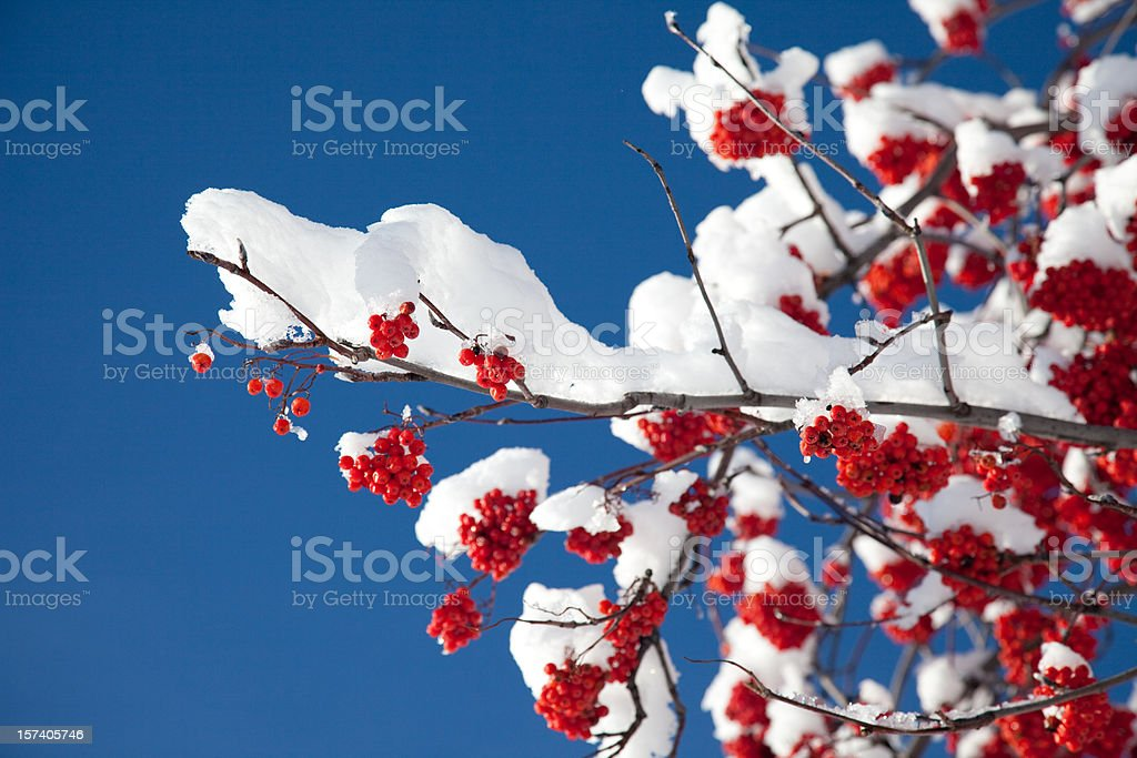 Mountain Ash Branch with Snow stock photo