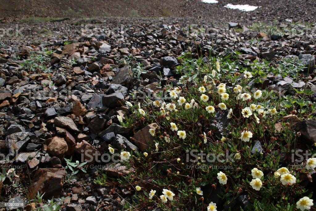 Mountain Aven in Alaska Range stock photo