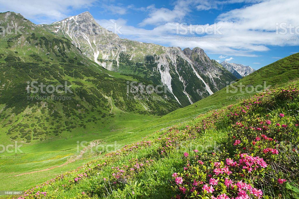mountain azalea royalty-free stock photo
