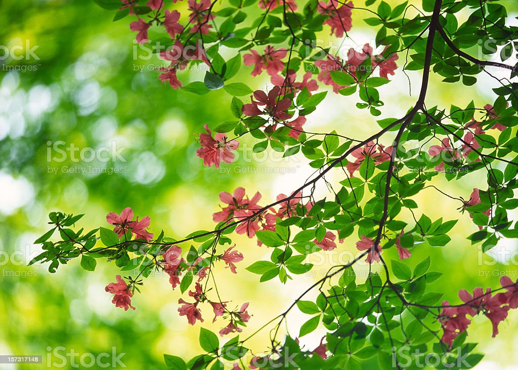 Mountain Azalea royalty-free stock photo