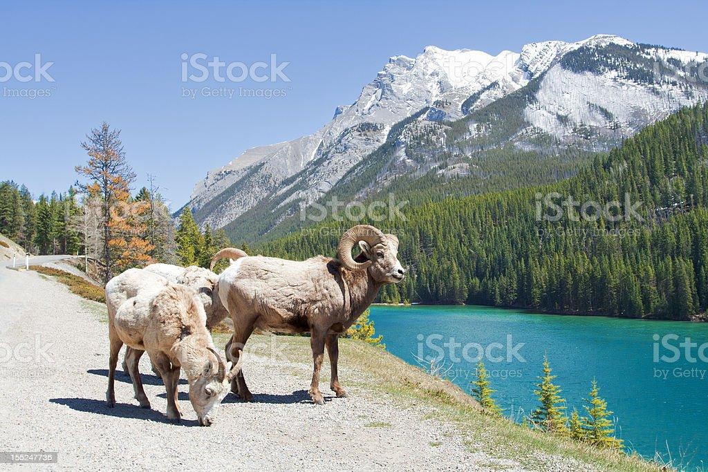 Mountain Bighorn Sheep on Lake Minnewanka, Canadian Rockies, Alberta stock photo