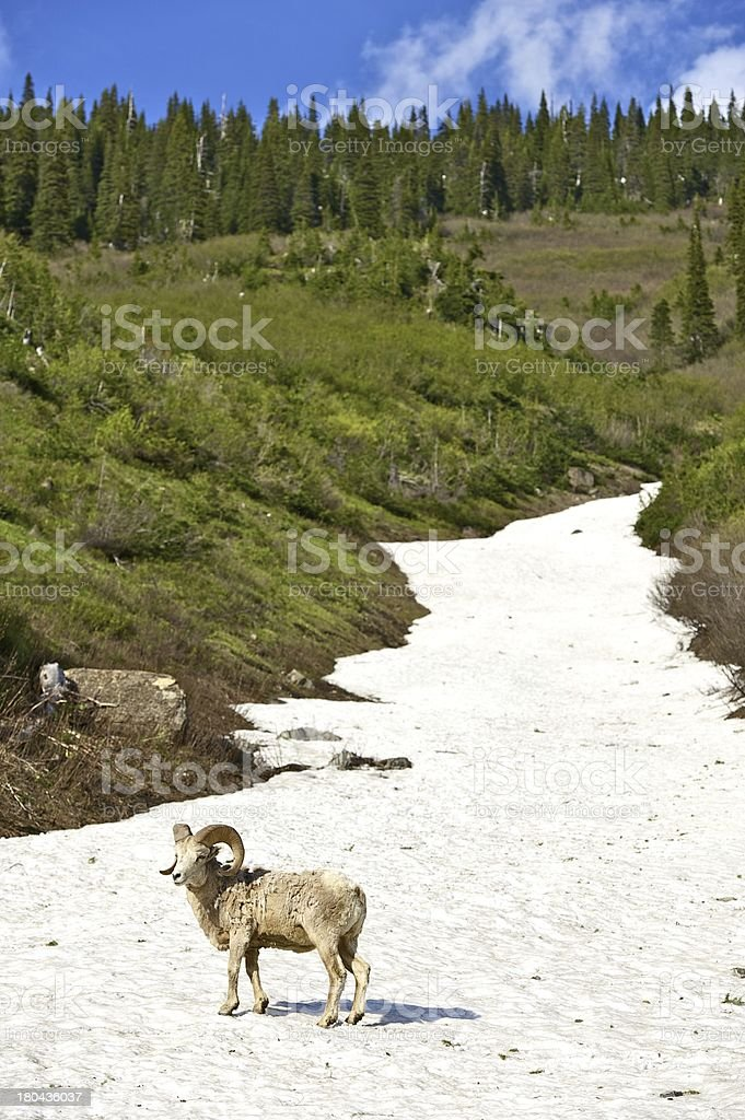 Mountain Bighorn Sheep stock photo