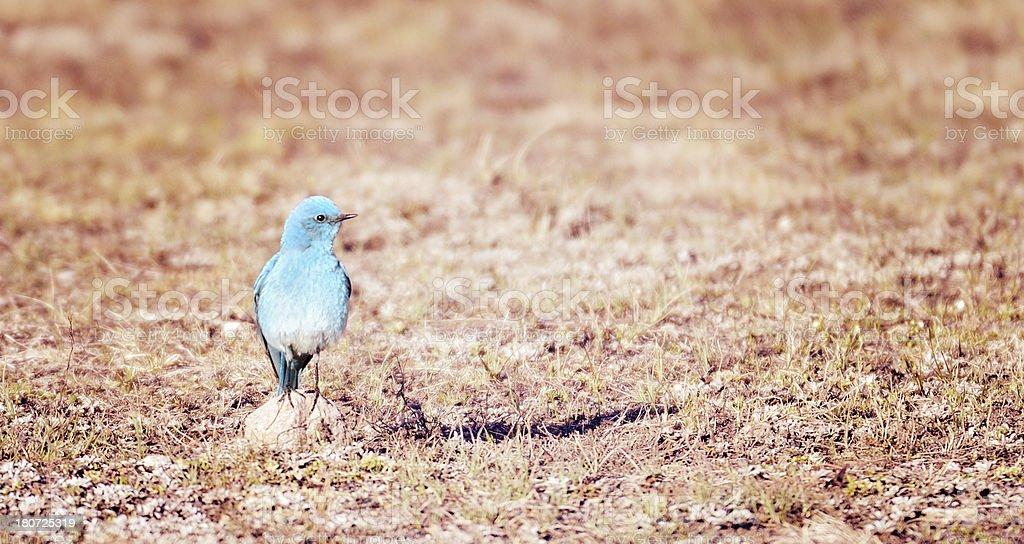 Mountain Blue Bird In Yellowstone National Park stock photo