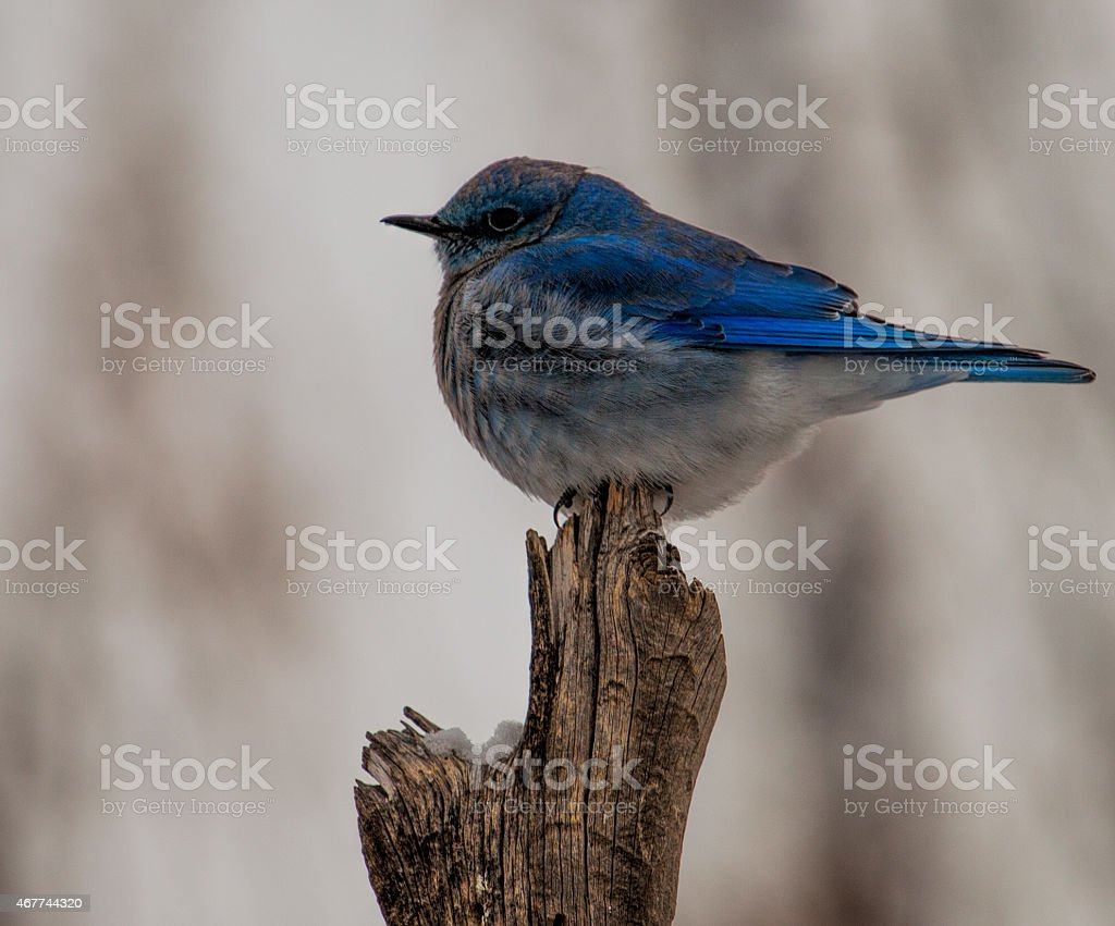 Mountain Blue Bird stock photo