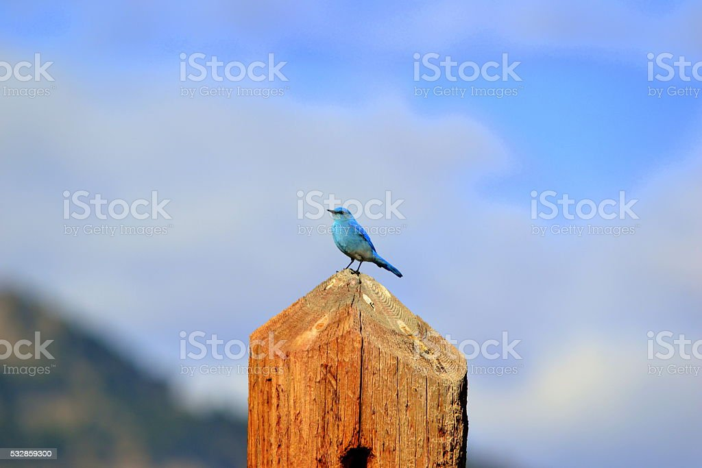 Mountain Blue Bird stock photo