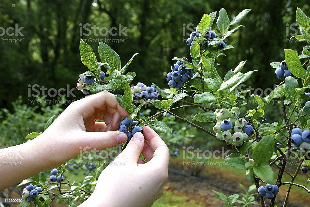 Mountain Blueberries stock photo