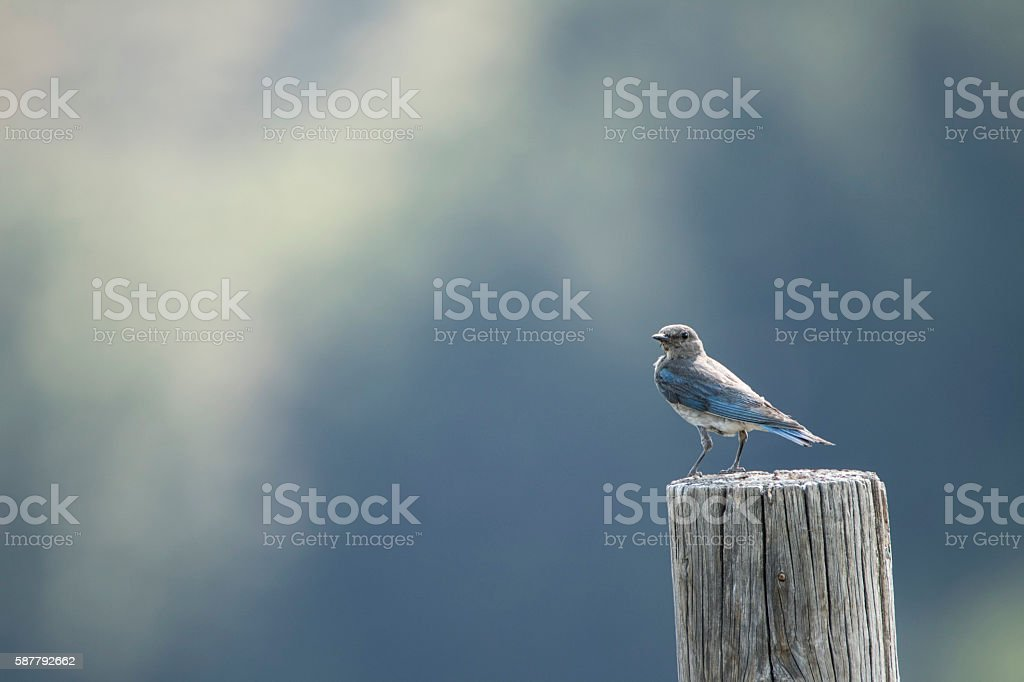 Mountain Bluebird Elegance stock photo