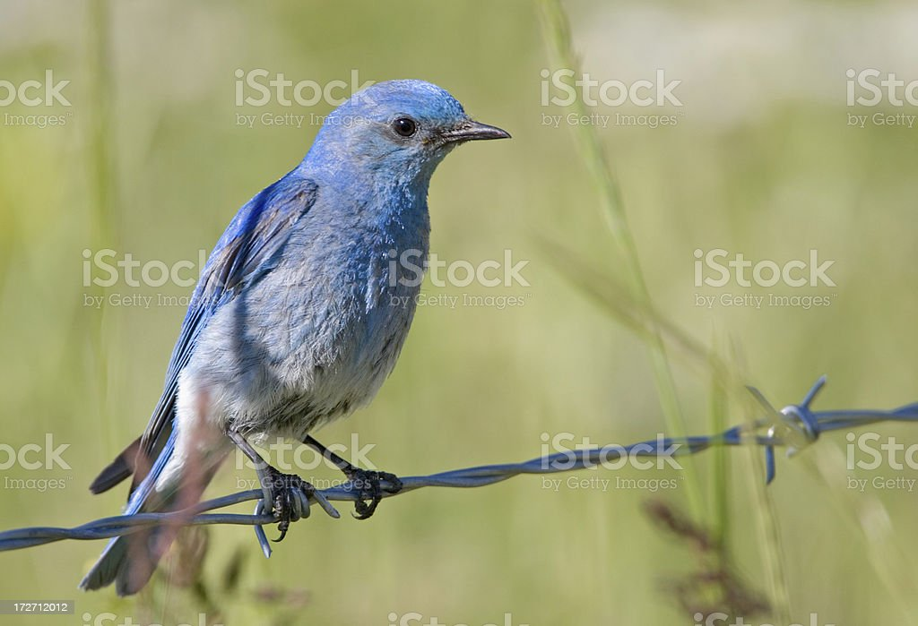 Mountain Bluebird on a Wire royalty-free stock photo
