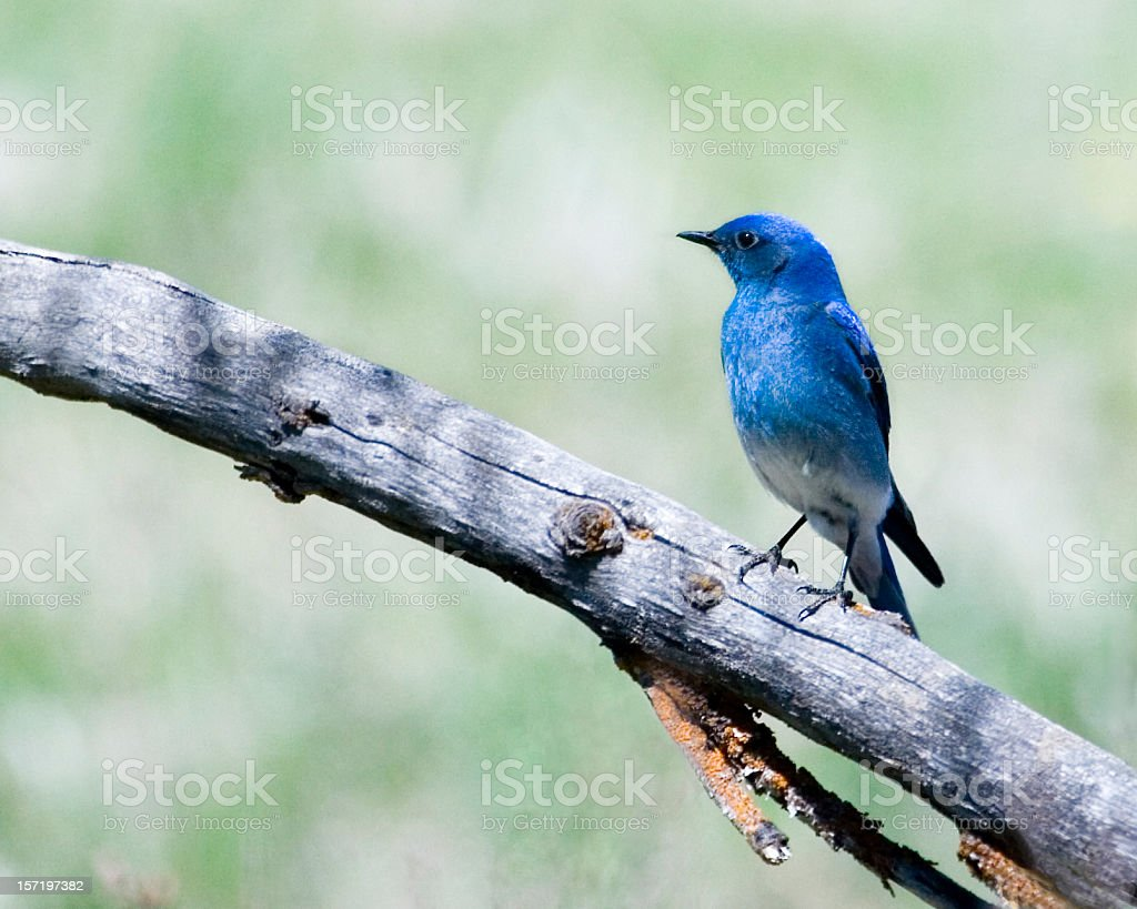 Mountain bluebird on branch with blurred background stock photo