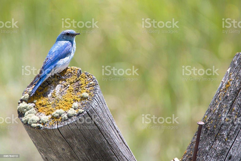 Mountain Bluebird on log stock photo