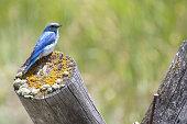 Mountain Bluebird on log