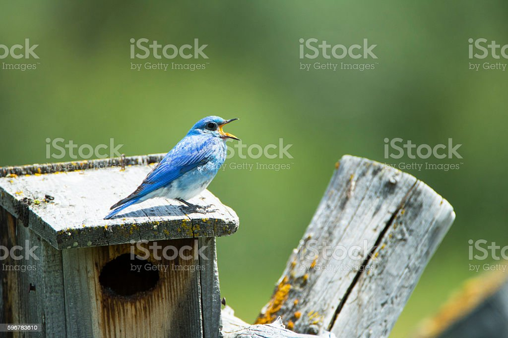 Mountain Bluebird Singing stock photo