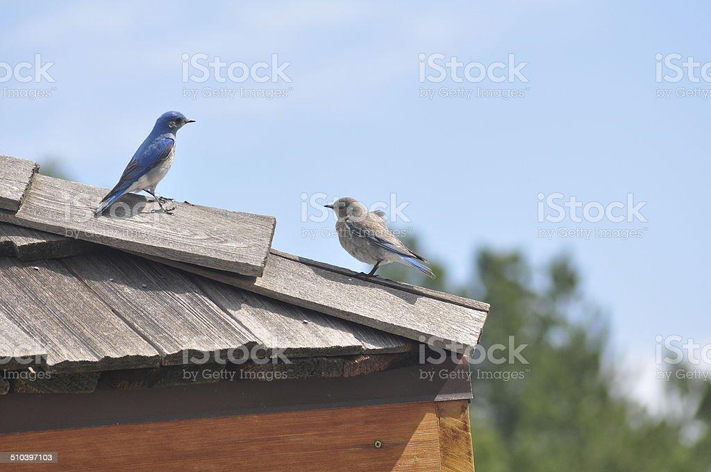 Mountain Bluebirds stock photo
