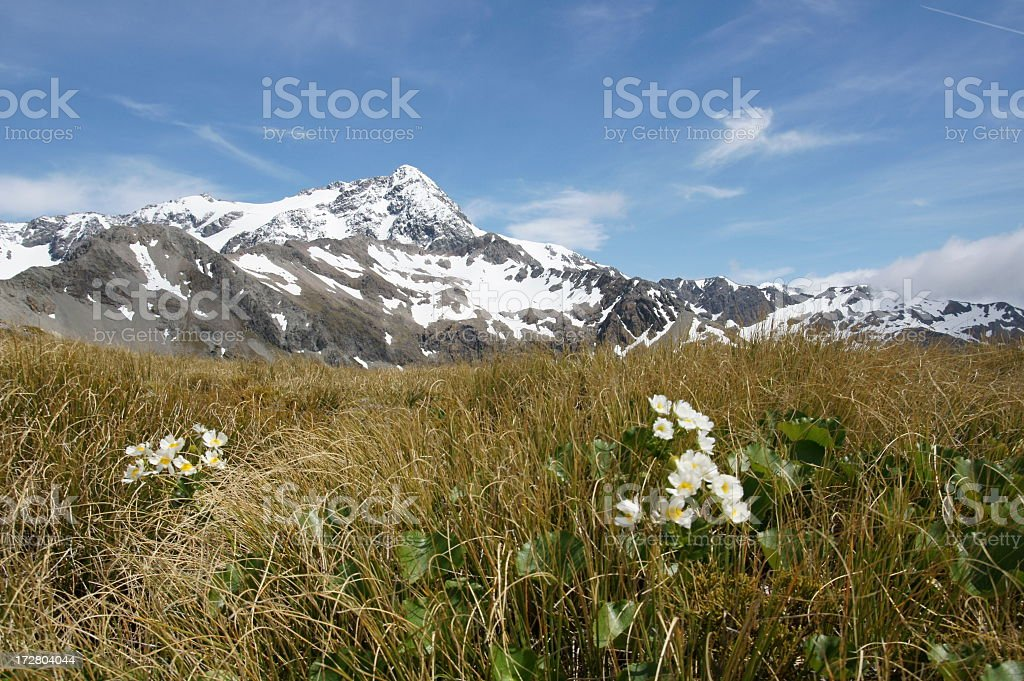 Mountain Buttercups (lily) on slope of mountains. stock photo