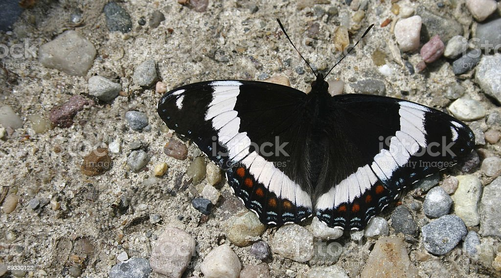 Mountain Butterfly royalty-free stock photo