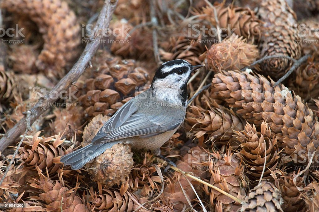 Mountain chickadee searches pine cone seeds Colorado Rocky Mountains stock photo