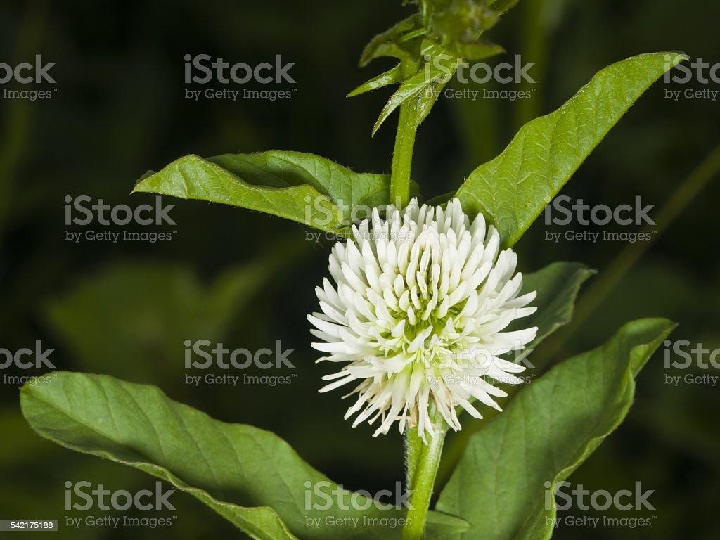 Mountain clover, Trifolium montanum, flower macro, selective focus, shallow DOF stock photo