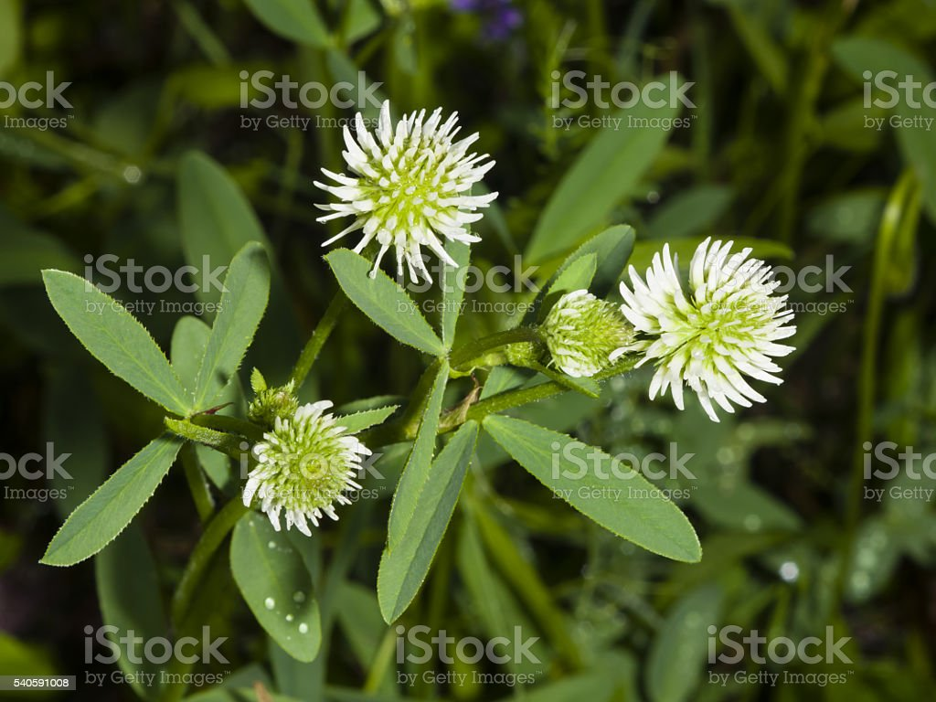 Mountain clover, Trifolium montanum, flowers and leaves, close-up, selective focus stock photo