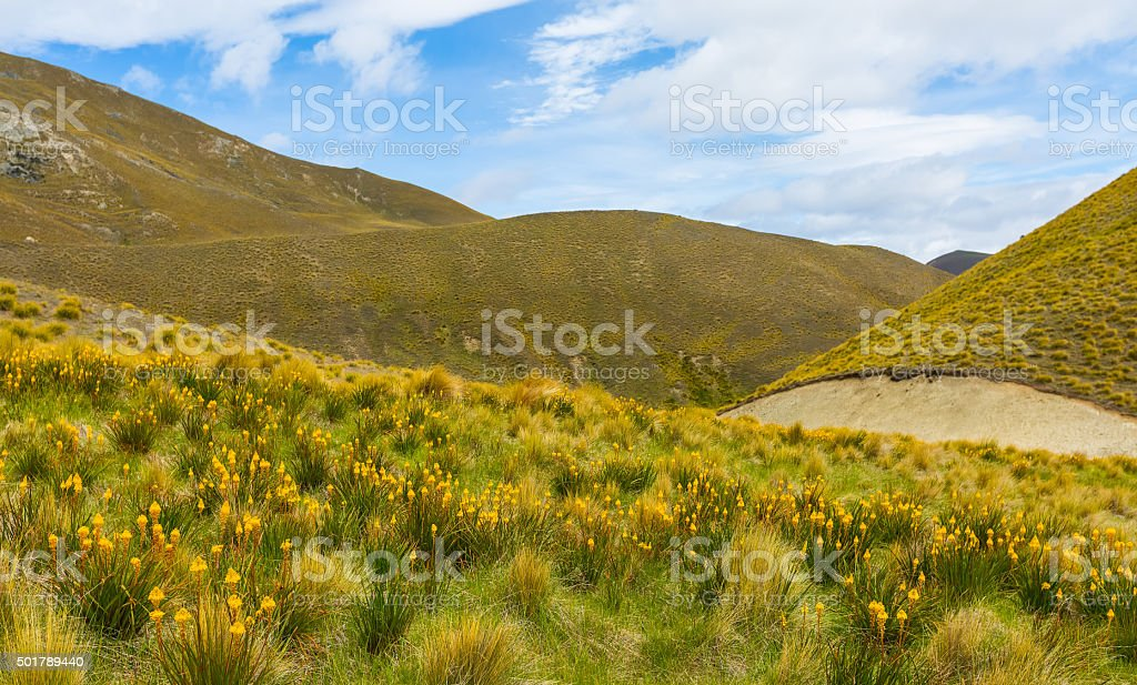 Mountain cover with tussock and alpine flower stock photo