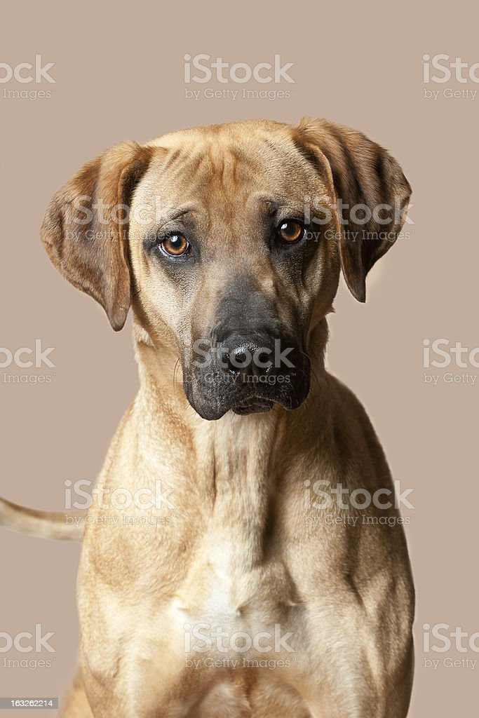 Mountain Cur Dog royalty-free stock photo
