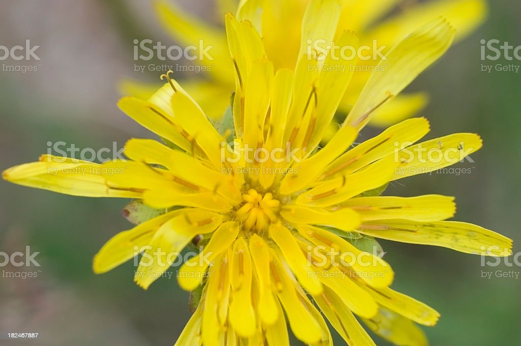Mountain Dandelion, Agoseris glauca stock photo