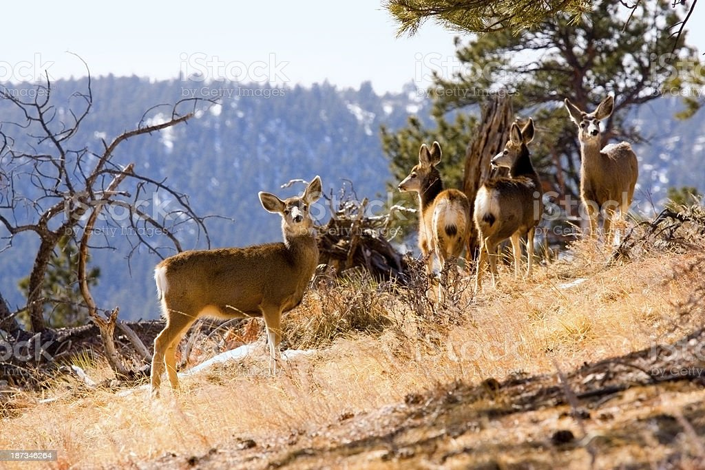 Mountain Deer Herd royalty-free stock photo