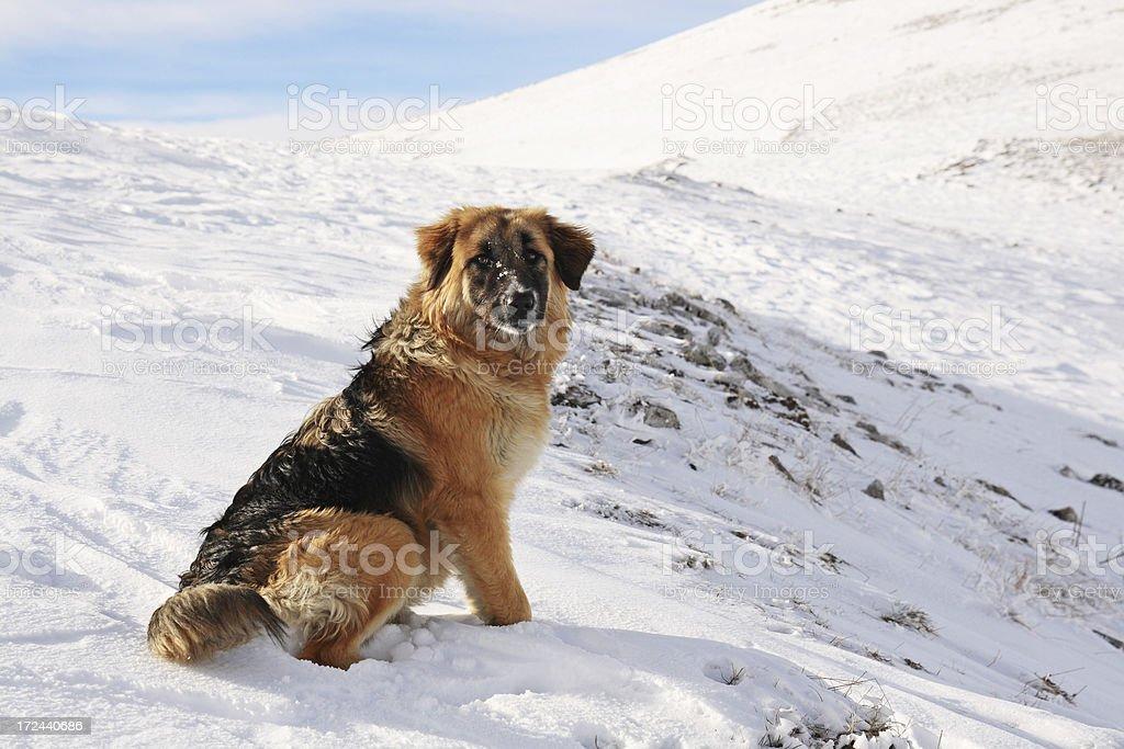 Mountain dog sitting on snow royalty-free stock photo