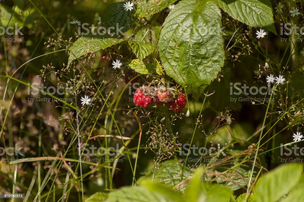 Mountain flower glade with fresh and ripe raspberry fruit and leaves, Plana mountain stock photo