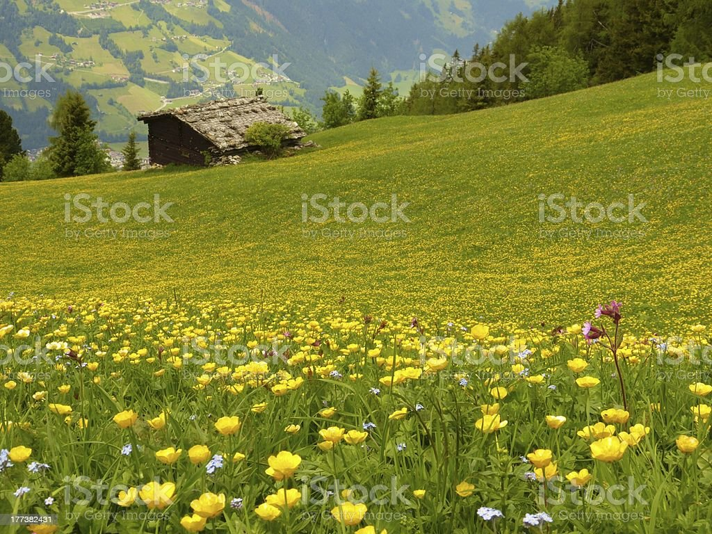 Mountain flower meadow with barn in background stock photo