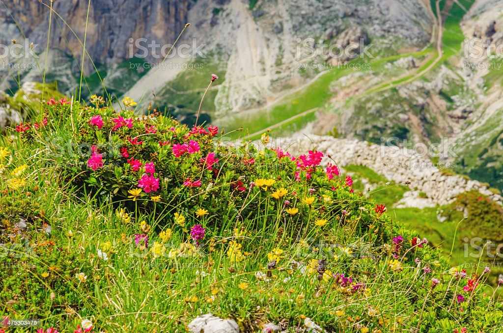 Mountain flowers and pine, Dolomites, Italy stock photo