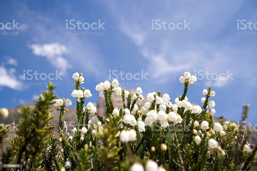Mountain Flowers in meadow royalty-free stock photo