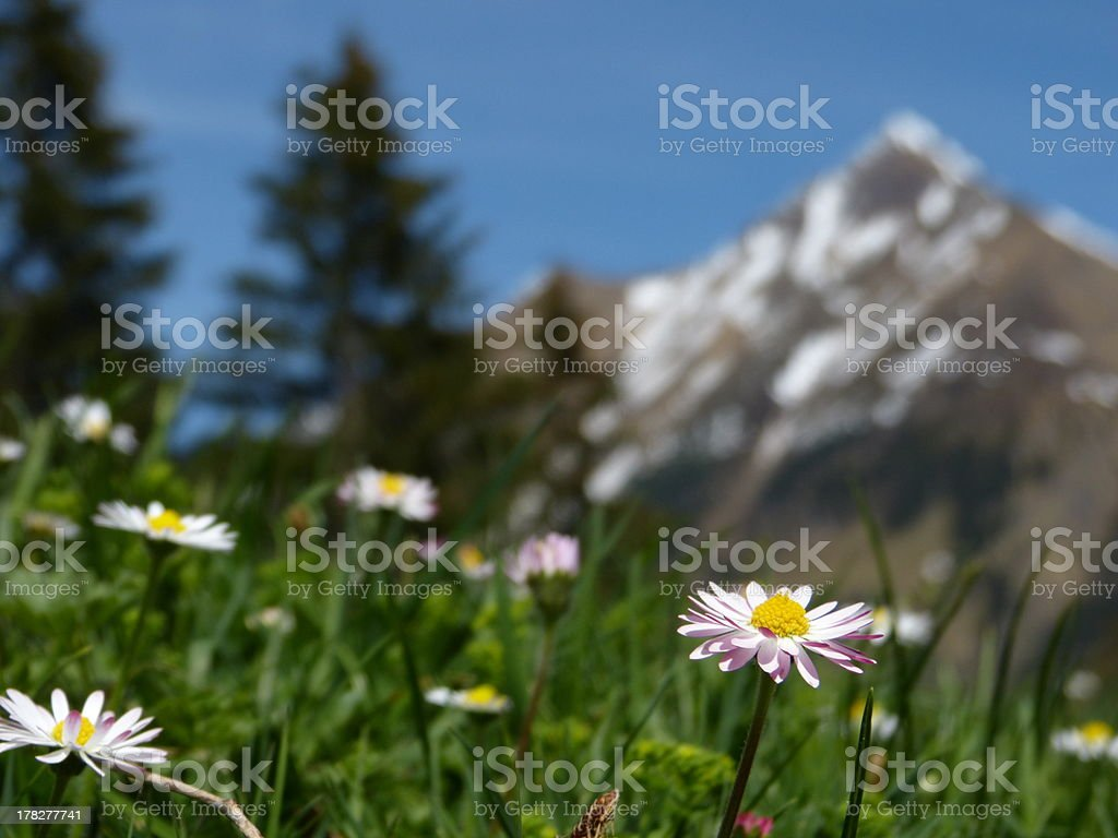 Mountain flowers with mountains in the background royalty-free stock photo