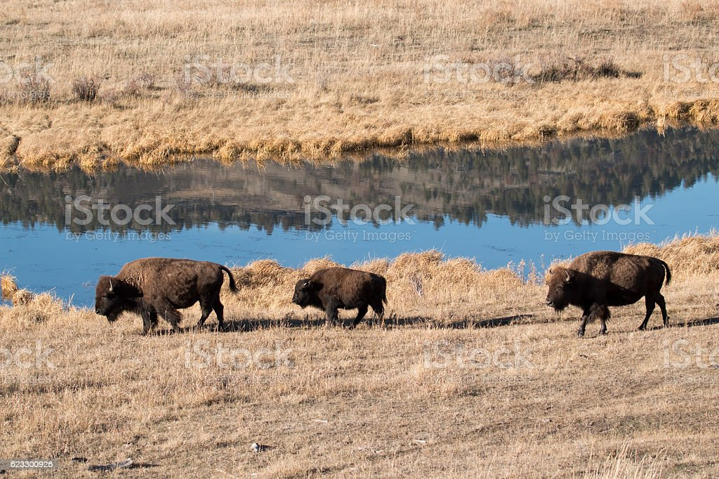 Mountain forest reflection Slough Creek bison trio Yellowstone National Park stock photo