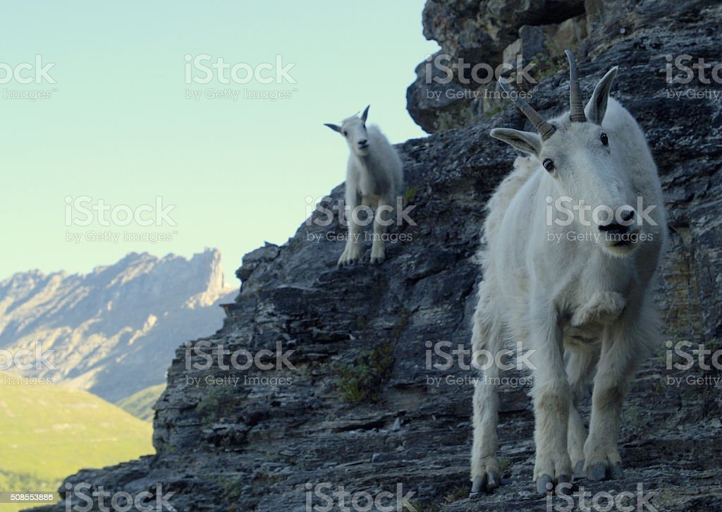 Mountain Goat and Her Billy on a Mountain stock photo