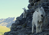 Mountain Goat and Her Billy on a Mountain