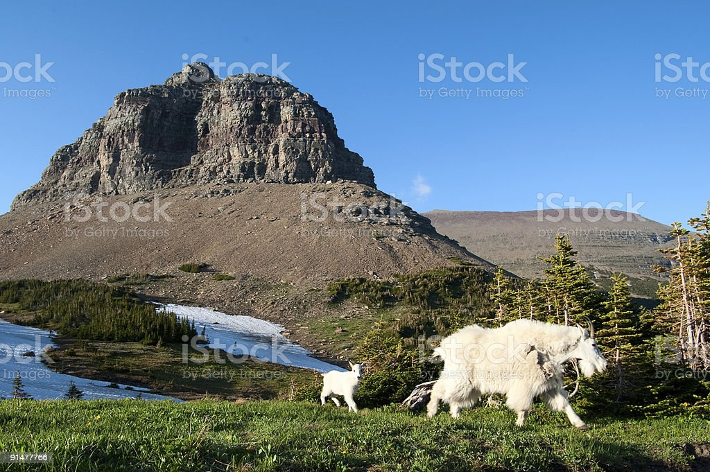 Mountain goat and kid. Montana royalty-free stock photo