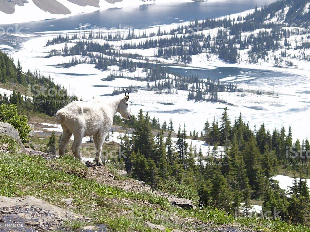 mountain goat at hidden lake royalty-free stock photo